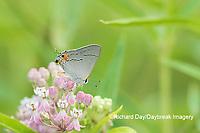 03191-00618 Gray Hairstreak (Strymon melinus) on Swamp Milkweed (Asclepias incarnata) Marion Co. IL