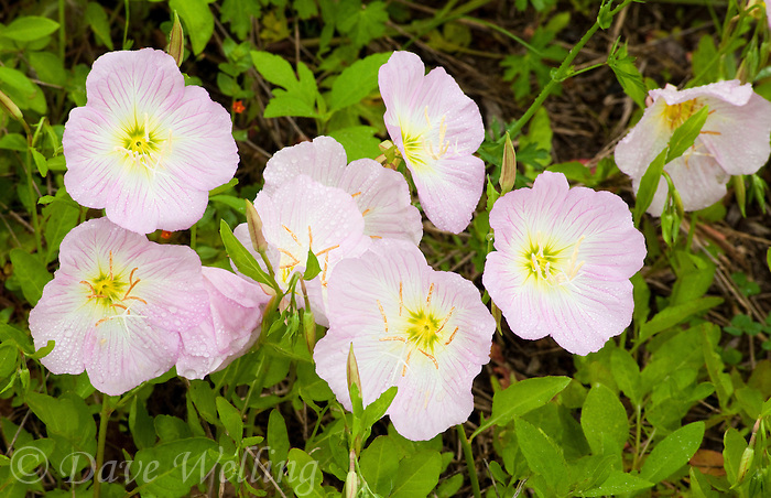 169780002 showys or pink evening primrose oenothera speciosa blooms in a field in de witt county texas
