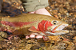 Hands of a fly fisherman releasing a spawning rainbow trout into the Colorado River near Lee's Ferry, Arizona