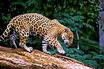 Animais. Mamiferos. Onça Pintada (Panthera onca). AM. Foto de Ricardo Azoury.