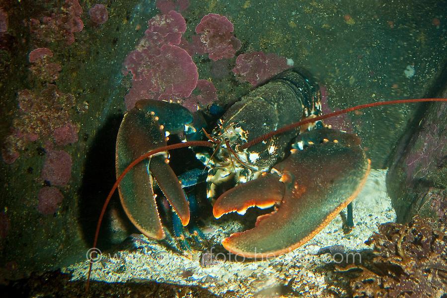 Europäischer Hummer, Homarus gammarus, common lobster, European clawed lobster, Maine lobster
