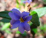 Dampiera stricta-Blue Dampiera