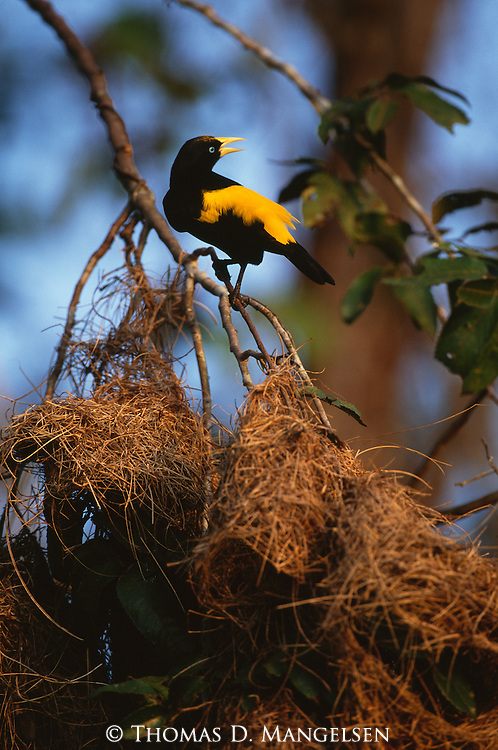 Yellow-rumped Cacique perched on branch