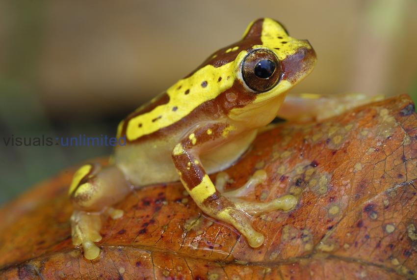 Hourglass Tree Frog (Dendropsophus ebraccatus), Cahuita National Park, Costa Rica