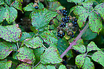 Blackberries ready for picking near Kent, the United Kingdom.