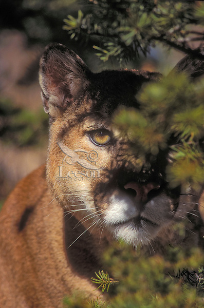 Cougar/Mountain Lion/Puma (Felis concolor) watches and waits behind tree for prey. Autumn, Rocky Mountains, North America.