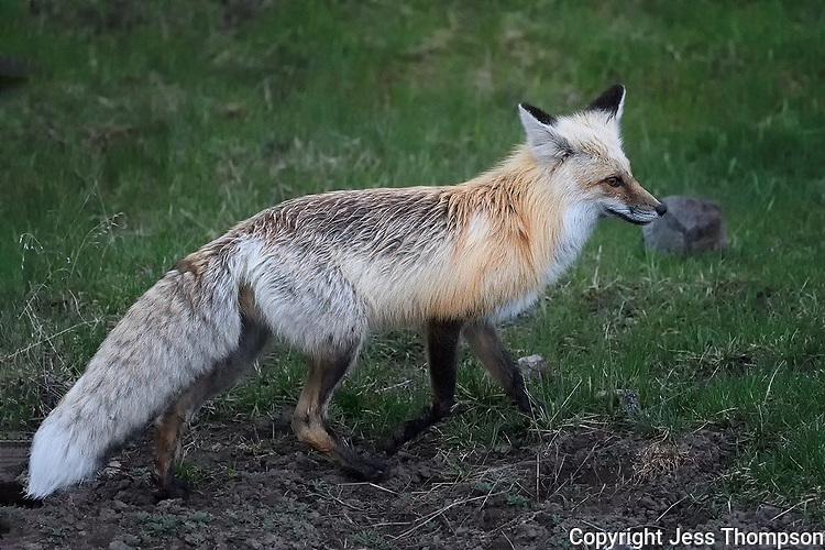 Fox, Yellowstone