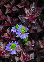 Purple flowers pop out of crimson ground cover, Cantigny Gardens, DuPage County, Illinois