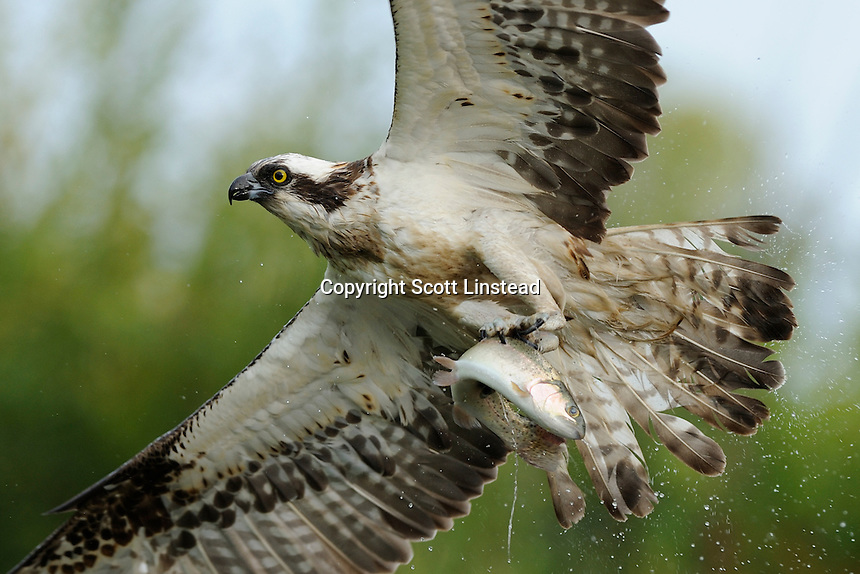 an osprey emerging from a dive into a lake to catch a trout