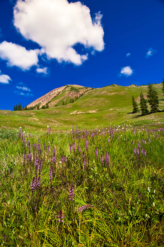 Wildflowers along jeep road between Paradise Divide and Schofield Pass, near Crested Butte, Colorado USA
