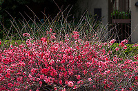 Chaenomeles superba 'Pink Lady' Japanese Quince, winter flowering drought tolerant deciduous shrub, Blake Garden