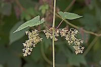 Gewöhnlicher Hopfen, Männliche Blüten, Humulus lupulus, Common Hop, Houblon