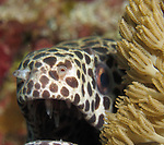 Orchid Island, Taiwan -- A shy  blackspotted moray, Gymnothorax favagineus, peeking out from behind a soft coral.