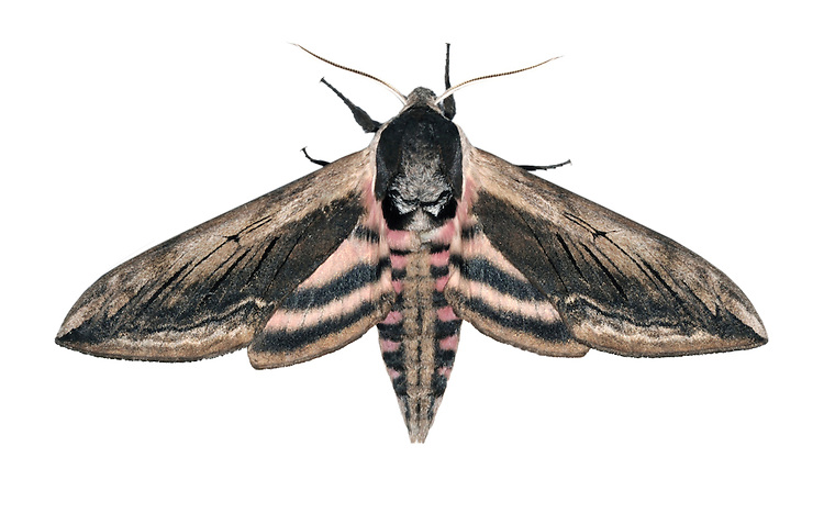 Privet Hawk-moth Sphinx ligustri Wingspan 100mm. A large and stunning moth. Usually rests with its wing held in a tent-like manner over the body but spreads wings when agitated. Adult has forewings that are brown and marked with darker lines and patches, the pattern recalling tree bark. If alarmed it exposes the pink-striped abdomen and pale pink stripes on the hindwing. Flies June–July. Larva is bright green with purple and white diagonal stripes and a dark-tipped 'horn' at the tail end. The head is pale, ringed with black. Larva feeds on Privet and Lilac. Widespread and common in central and southern Britain.