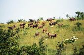 La Lope, Gabon. Buffalo in a savannah reserve.