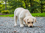 Yellow labrador puppy sniffing.