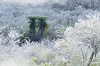 Trecul Yucca, Spanish Dagger (Yucca treculeana), after ice rain, Dinero, Lake Corpus Christi, South Texas, USA