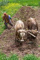 Peru, Misminay Village, Urubamba Valley.  Quechua Farmer Plowing with Oxen.