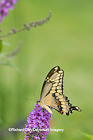 03017-01401 Giant Swallowtail butterfly (Papilio cresphontes) on Butterfly Bush (Buddleia davidii), Marion Co., IL