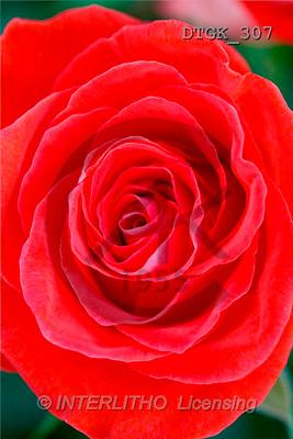 Gisela, FLOWERS, photos(DTGK307,#F#) Blumen, flores, retrato