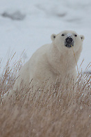 Polar Bear sitting in the snow and grass with a stalk of grass on its mouth