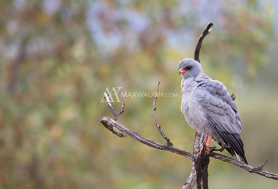 A pale-chanting goshawk fluffs up on a cool morning in Kruger.