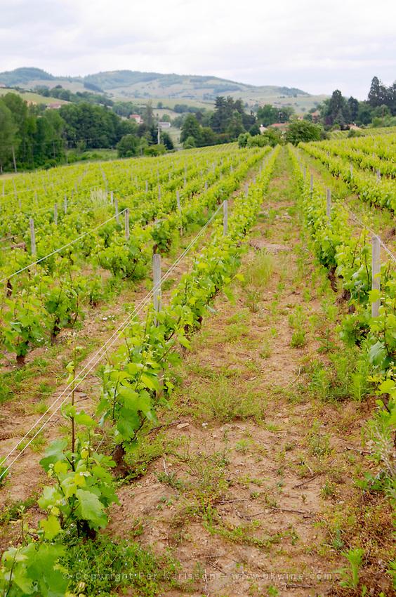 vineyard domaine du vissoux beaujolais burgundy france
