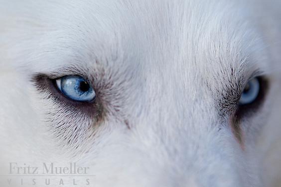 White huskies from Northwest Territories