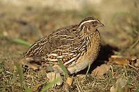 Wachtel, Coturnix coturnix, quail