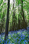 Spring Bluebells in sahded wood near Bristol