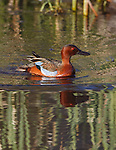 cinnamon teal drake with blue wiong patches showing after an altervation with another drake