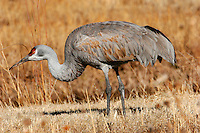 Greater sandhill crane winter adult feeding in field