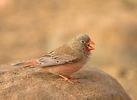 Trumpeter Finch - Bucanetes githagineus - Male