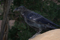 Common Raven (Corvus corax)seen up close in Southern Utah's, Bryce Canyon National Park on a summer day