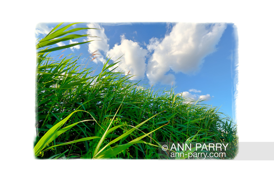 Contact me for info about signed prints of this landscape. | Marshland grass and reeds blowing on windy day, closeup, at Levy Park and Preserve, Merrick, New York, USA. | Suitable for very large prints on art paper, canvas...