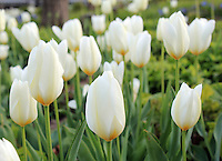 Stock photo: Small field of white tulips in America.