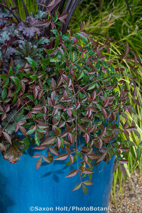 Nandina 'Flirt', purple foliage shrub in blue container, Sunset Plants