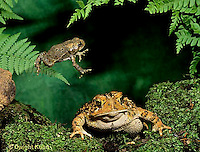 FR17-007x  American Toad - young toad jumping over adult - Anaxyrus americanus, formerly Bufo americanus
