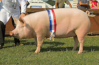 The interbreed pig champion, a Large White sow from S. J. S. Loveless.