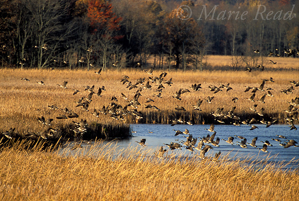 Canada Geese (Branta canadensis) fly over a marsh in autumn, Montezuma National Wildlife Refuge, New York, USA,<br /> Slide # B24-5281