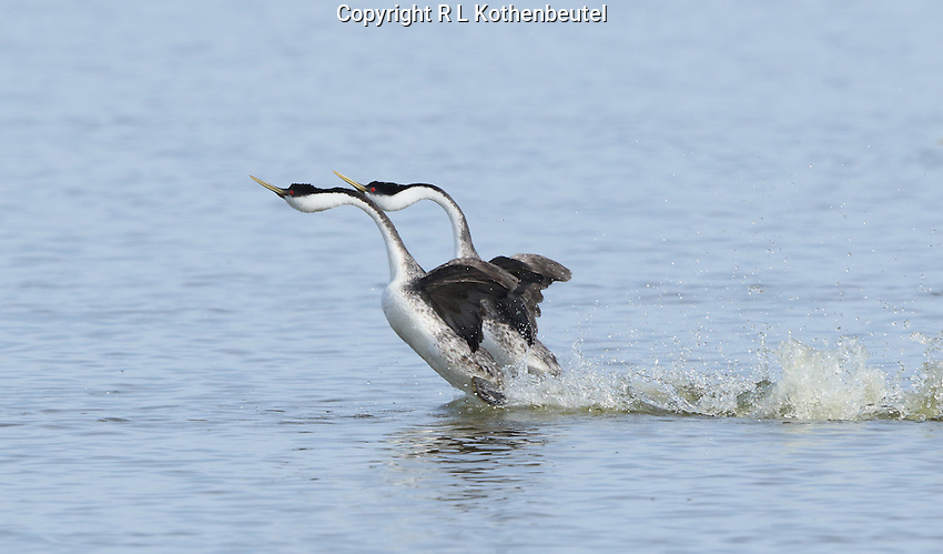 A pair of western grebes begins their courtship dance as the rush over the water.<br />