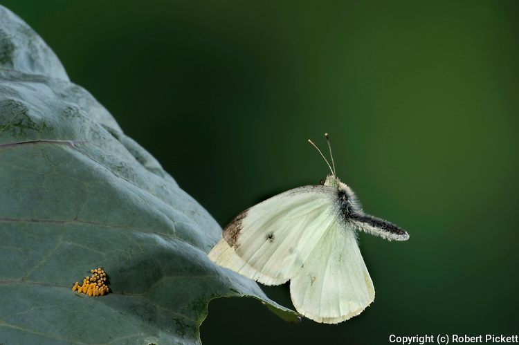 Large or Cabbage White Butterfly, Pieris brassicae, in flight, high speed photographic technique, flying over eggs laid on cabbage leaf.United Kingdom....