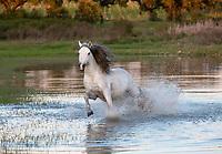 Lusitano stallion Delta