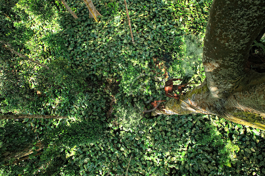 Two honey-hunters climb a tree in a forest of Marantaceae.<br /> For the trees more than 40 metres high, if the trunk is not surrounded by lianas the men climb in the fashion of tree surgeons, with a simple belt made with a liana. The liana is wrapped around the trunk, knotted and they climb in opposition with their feet, making notches in the trunk with an axe.<br /> Deux chasseurs montent &agrave; un arbre dans une f&ocirc;ret &agrave; Marantaceae.<br /> Pour les arbres de plus de 40 m&egrave;tres, si le tronc n&rsquo;est pas entour&eacute; de liane, les hommes montent &agrave; la mode des &eacute;lagueurs avec une simple ceinture fabriqu&eacute;e avec une liane. La liane est entour&eacute;e autour du tronc, nou&eacute;e et ils montent en opposition &agrave; l&rsquo;aide de leurs pieds en cr&eacute;ant des encoches dans le tronc &agrave; l&rsquo;aide d&rsquo;un h&acirc;che.
