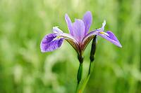 Iris Versicolor 'Mountain Brook'