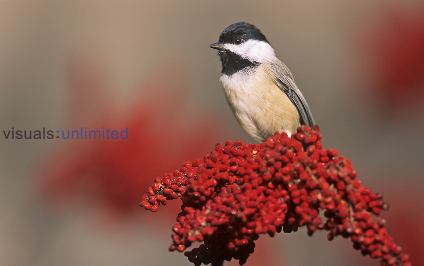 Carolina Chickadee (Poecile carolinensis) on Sumac, Eastern North America.