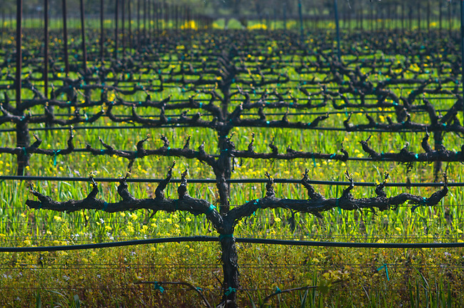 Winter vineyard in Napa Valley