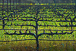 Winter vineyard in Napa Valley
