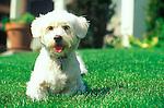 white terrier onlawn in spring