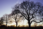 Row of bare winter English oak or Quercus robur trees  silhouetted against evening sky